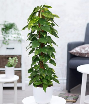 Efeutute am Moosstab ca. 100 Zentimeter hoch,1 Pflanze