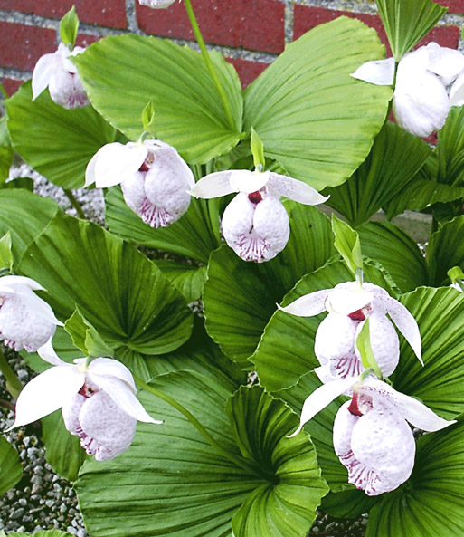 freiland orchidee formosana 1a qualit t kaufen baldur garten. Black Bedroom Furniture Sets. Home Design Ideas