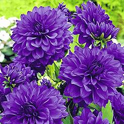 blumenzwiebeln bzw zwiebelblumen online kaufen bestellen bei baldur garten. Black Bedroom Furniture Sets. Home Design Ideas