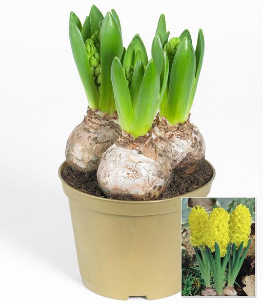 hyazinthe im topf 39 gelb 39 1a zimmerpflanzen online kaufen baldur garten. Black Bedroom Furniture Sets. Home Design Ideas