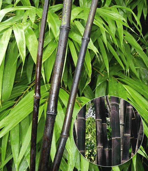 Schwarzer Bambus Black Bamboo 1a Qualitat Kaufen Baldur Garten