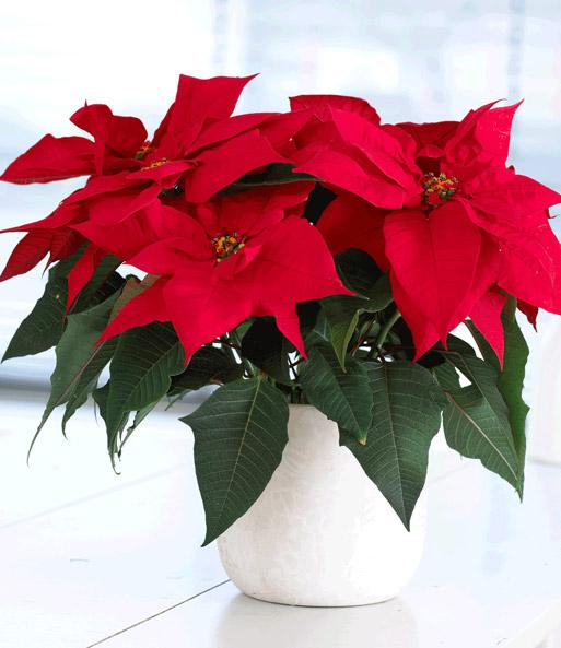 Weihnachtsstern 1a Pflanzen Online Kaufen Baldur Garten