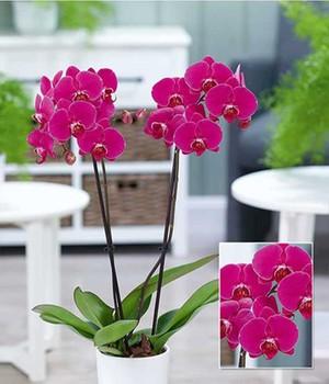 Phalaenopsis Orchidee, 2 Triebe,  - Rosa - ,1 Pflanze, Blüten-/Knospenanteil - 50 % Blüten, 50 % Knospen