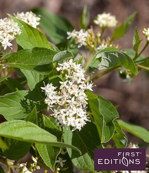 Cornus ´Firedance&reg,´,1 Pflanze