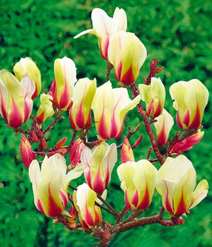 Magnolie 'Sunrise'