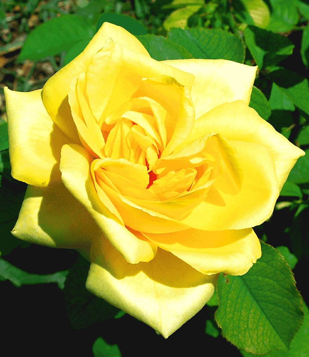 Parfum-Rose 'Président A. Zinsch®'