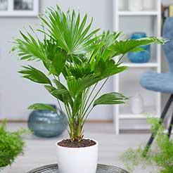 Zimmerpflanzen online kaufen & bestellen bei BALDUR-Garten