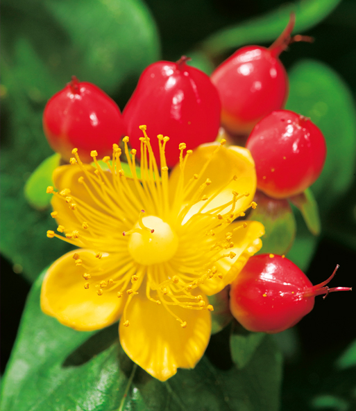 Hypericum 'Miracle Mix'