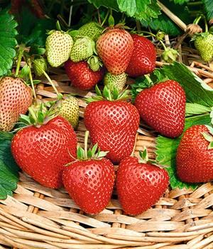 Immertragende Erdbeere ´Buddy®´ (3 Pflanzen)