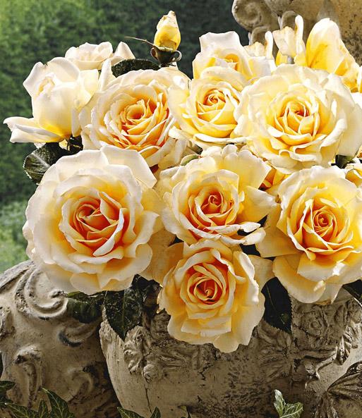 Parfum-Rose \'Angie®\': 1A-Rosenpflanzen bestellen | BALDUR-Garten