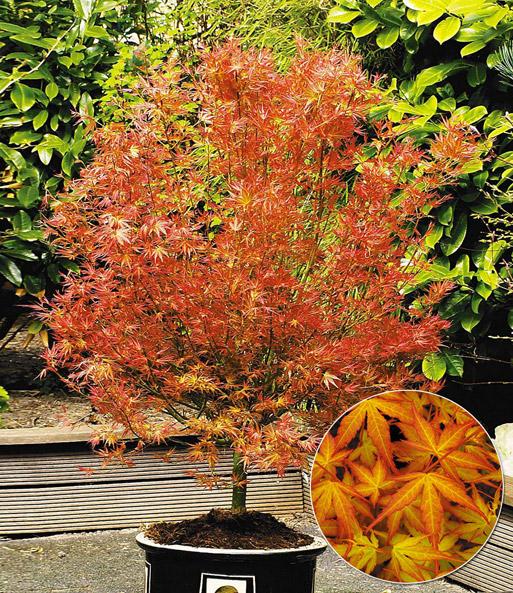 Japanischer Ahorn Katsura 1a Qualitat Baldur Garten