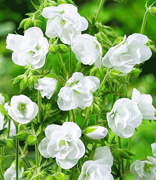 winterharte geranie 39 wei e snow dou geranien geranium. Black Bedroom Furniture Sets. Home Design Ideas