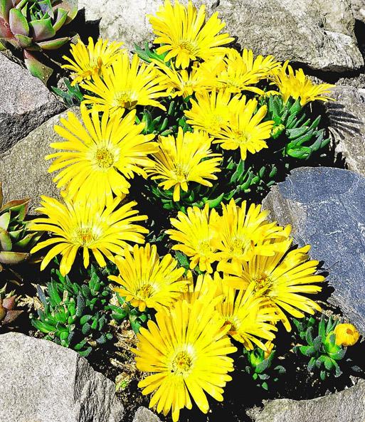 Goldtaler: 1A-Pflanzen online kaufen | BALDUR-Garten