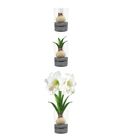 amaryllis im glas 39 wei e intokazi 39 blumenzwiebeln a z. Black Bedroom Furniture Sets. Home Design Ideas