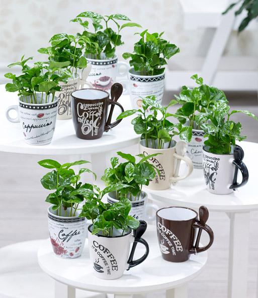 coffea arabica mit kaffeetasse baldur garten. Black Bedroom Furniture Sets. Home Design Ideas