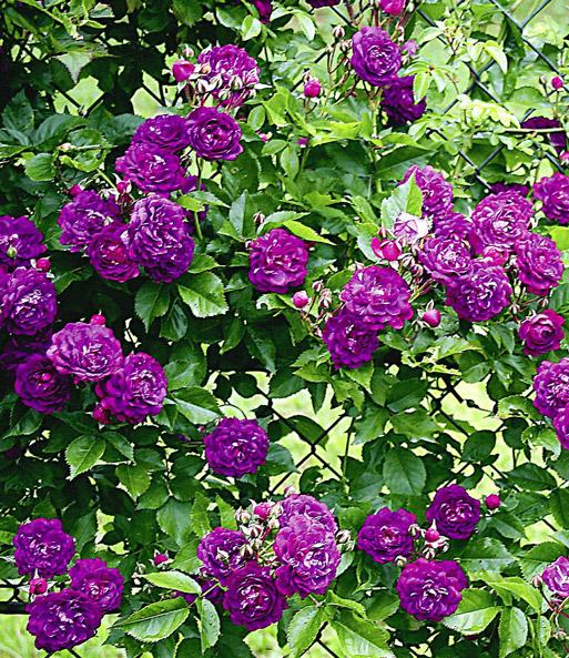 Rambler-Rosen-Kollektion  Rambler-Rosen bei BALDUR-Garten
