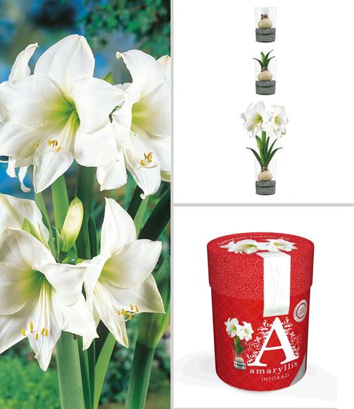 amaryllis im glas 39 wei e intokazi 39 blumenzwiebeln a z bei baldur garten. Black Bedroom Furniture Sets. Home Design Ideas