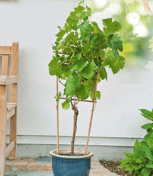 Wei e tafel trauben am spalier 1a qualit t baldur garten for Weintrauben im garten anbauen