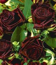 Parfum-Rose \'France Libre®\': 1A-Rosenpflanzen bestellen | BALDUR ...