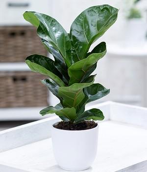 Ficus  - Bambina - ,1 Pflanze