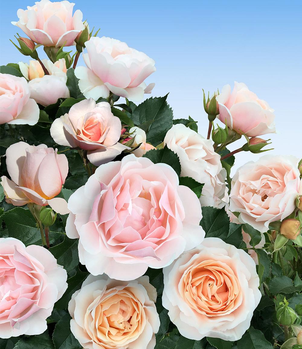 Parfum-Rose 'Jardin des Tuileries®'