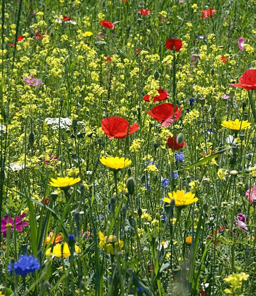wildblumen rasen wildblumensamen bei baldur garten. Black Bedroom Furniture Sets. Home Design Ideas