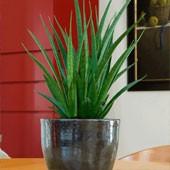 zimmerpflanzen online kaufen bestellen bei baldur garten. Black Bedroom Furniture Sets. Home Design Ideas