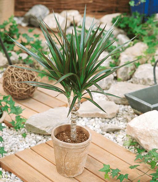 Drachenbaum 1a Zimmerpflanzen Online Kaufen Baldur Garten