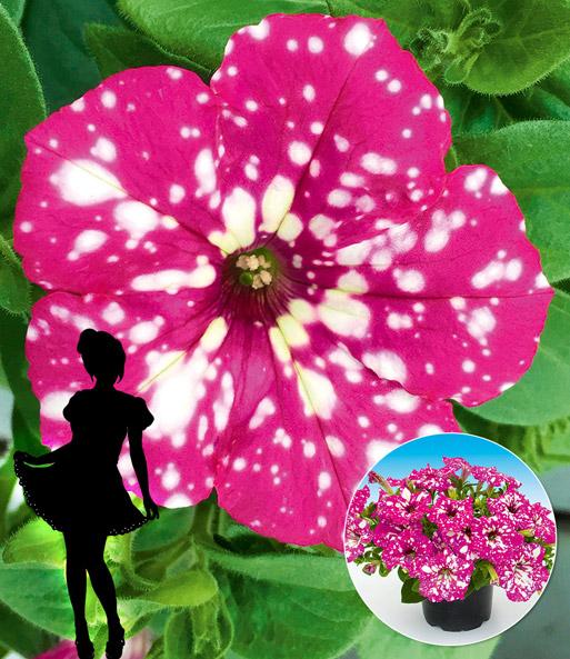 Hange Petunie Babydoll Top Qualitat Baldur Garten