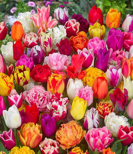 120 tulpenzwiebeln 39 festival mix 39 tulpen bei baldur garten. Black Bedroom Furniture Sets. Home Design Ideas