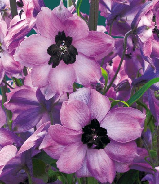 Delphinium 'Red-Pink Black Heart'