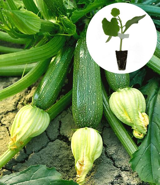 zucchini kollektion jungpflanzen nur im internet bei. Black Bedroom Furniture Sets. Home Design Ideas