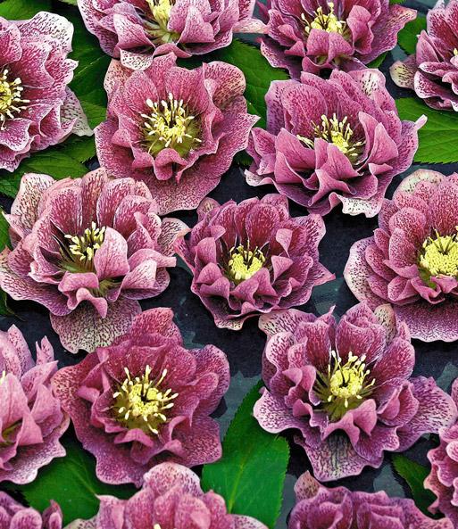 christrose double dark pink spotted baldur garten. Black Bedroom Furniture Sets. Home Design Ideas
