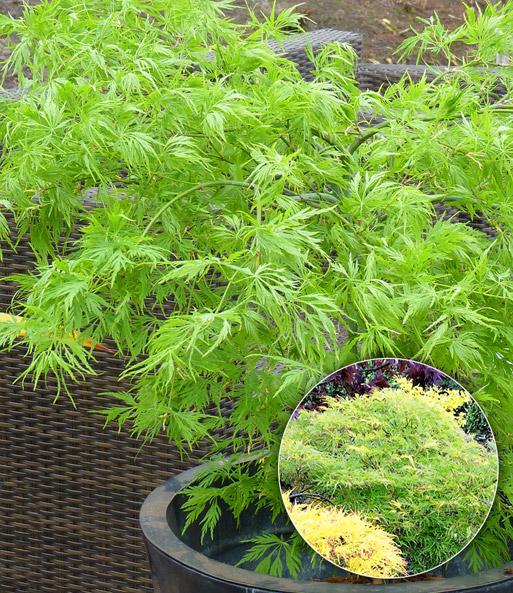 Japanische Ahorn Kollektion Mount Ahorn Acer Bei Baldur Garten