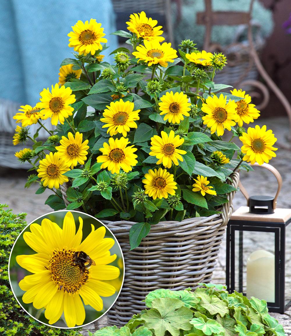 Winterharte Sonnenblume 'SunCatcher®'