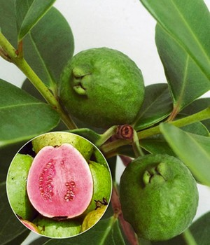 Echte Guave,1 Pflanze