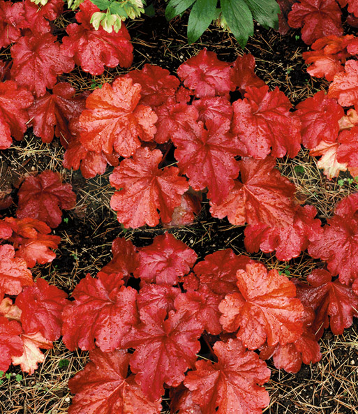 Heuchera 'Fire Alarm®'