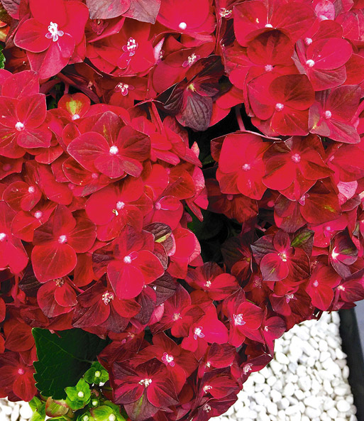 Freiland-Hortensie 'Ruby Tuesday®'