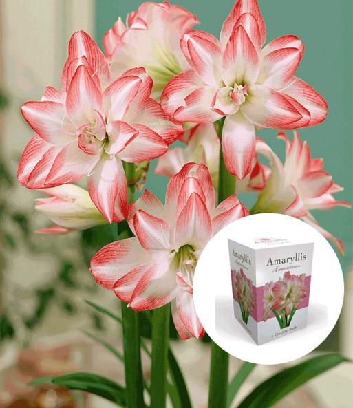 gef llte amaryllis 39 double pink 39 mi bl hende zimmerpflanzen bei baldur garten. Black Bedroom Furniture Sets. Home Design Ideas