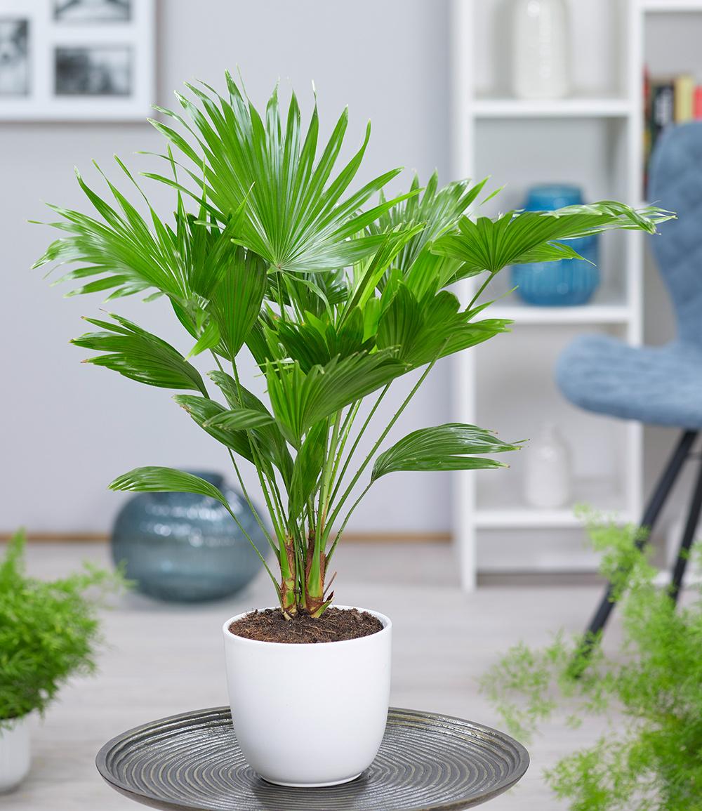 Palme 'Livistona Rotundifolia' ca. 40 cm hoch