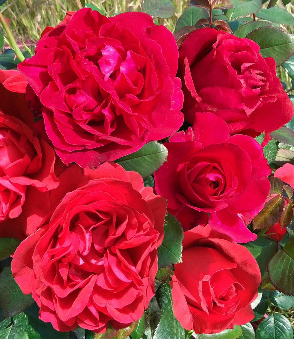 Parfum-Rose 'Rose Clos Vougeot®'