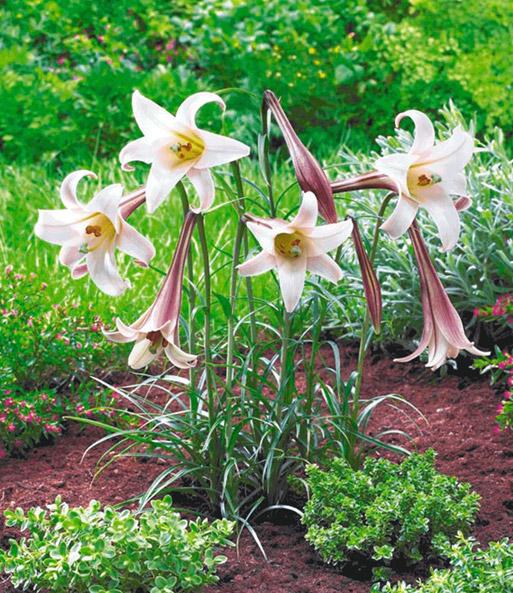 Niedrige Beet Lilie Crane 1a Blumenzwiebeln Kaufen Baldur Garten