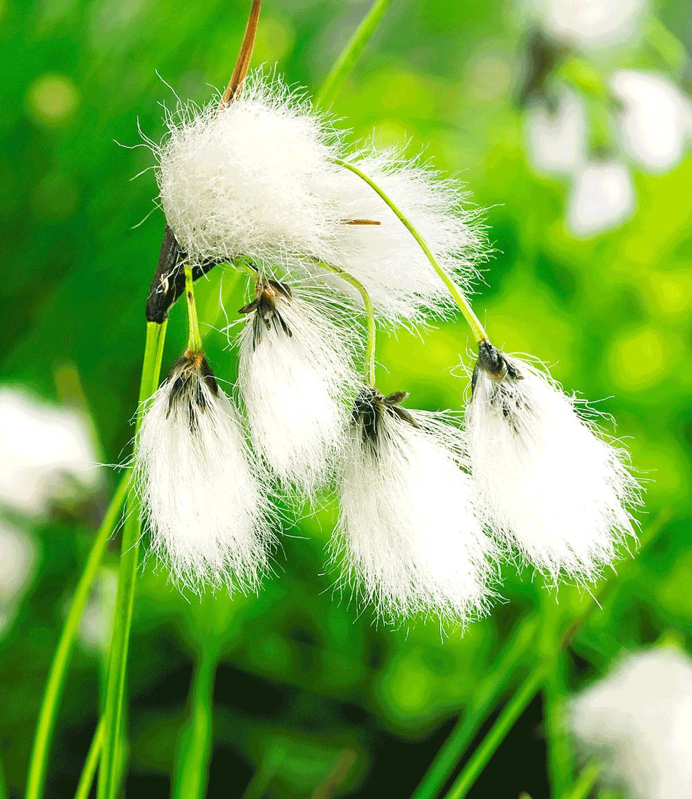Teichpflanze Seidiges Wollgras