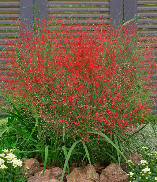 Gartengräser Winterhart rotes liebesgras ziergräser bei baldur garten