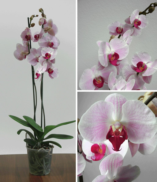 phalaenopsis orchidee 39 ros pink 39 zimmerpflanzen mit bertopf bei baldur garten. Black Bedroom Furniture Sets. Home Design Ideas
