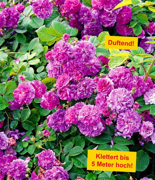 Rambler-Rose Himmelsauge: 1A-Qualität kaufen | BALDUR-Garten