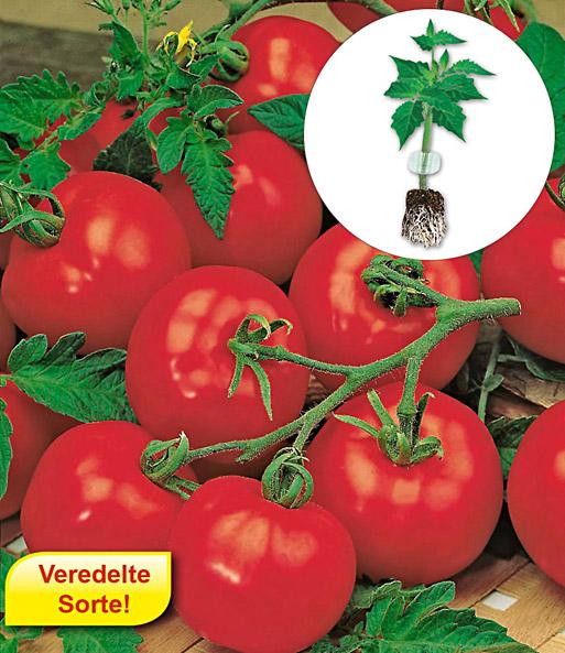 veredelte tomaten kollektion 1a qualit t online kaufen. Black Bedroom Furniture Sets. Home Design Ideas