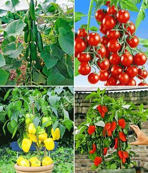 Veredelte Snack-Gemüse Kollektion,4 Pflanzen