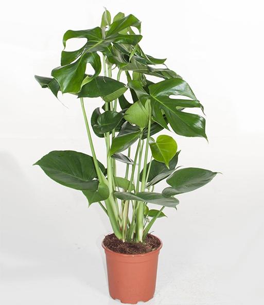 monstera fensterblatt ca 50 cm h gr npflanzen bei baldur garten. Black Bedroom Furniture Sets. Home Design Ideas