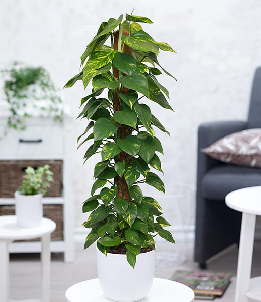 efeutute  moosstab ca  cm hoch  zimmerpflanzen